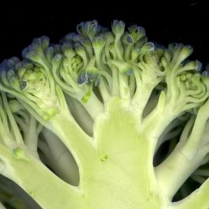 Brocoli-fleurs