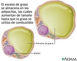 Adipocito (celula de grasa)